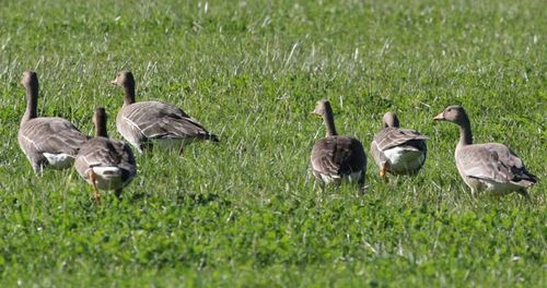 White-Front Geese. Jeffrey High photo